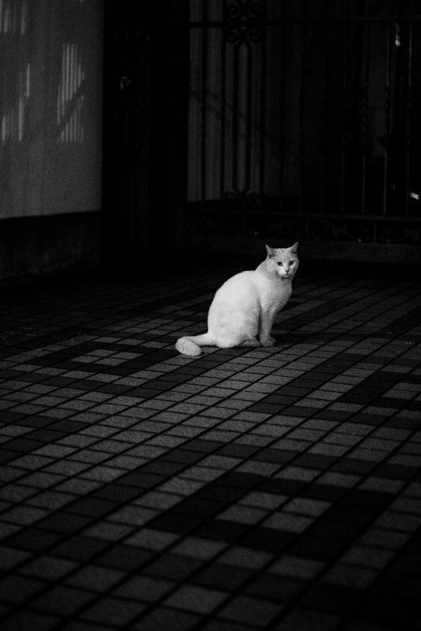 weisse Katze in Tokyo S/W